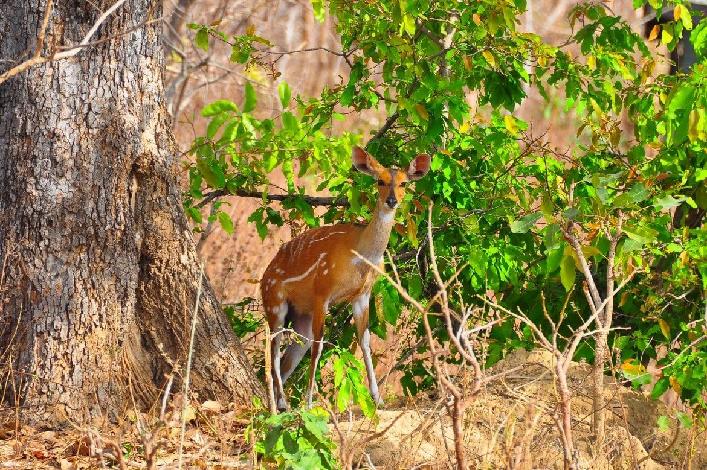Bushbuck hembra