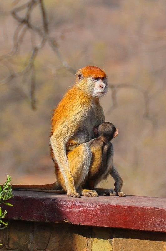 Patas Monkey con su cría