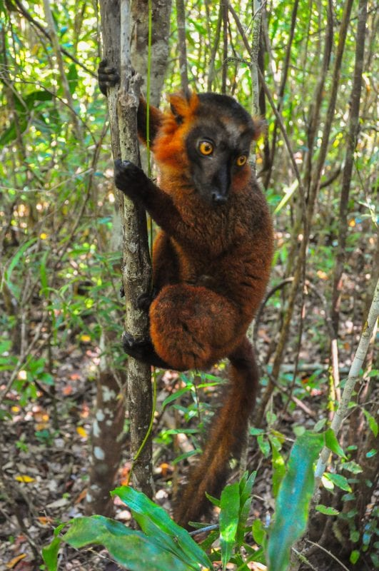 Lemur Híbrido