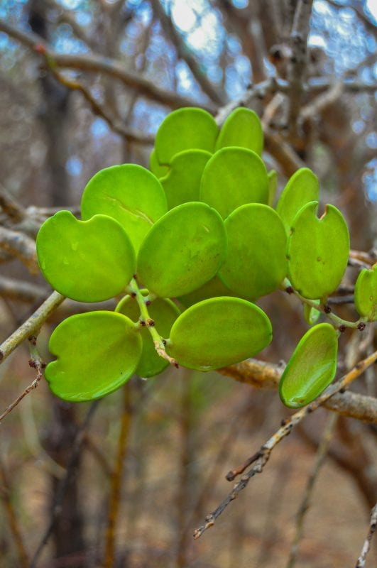 Flora de Antsokay