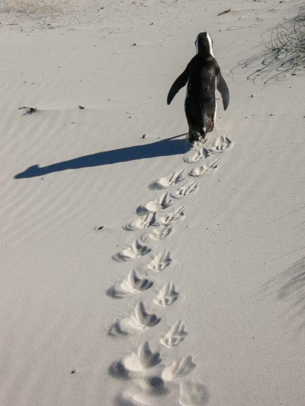 Pingüino Africano en Sudáfrica