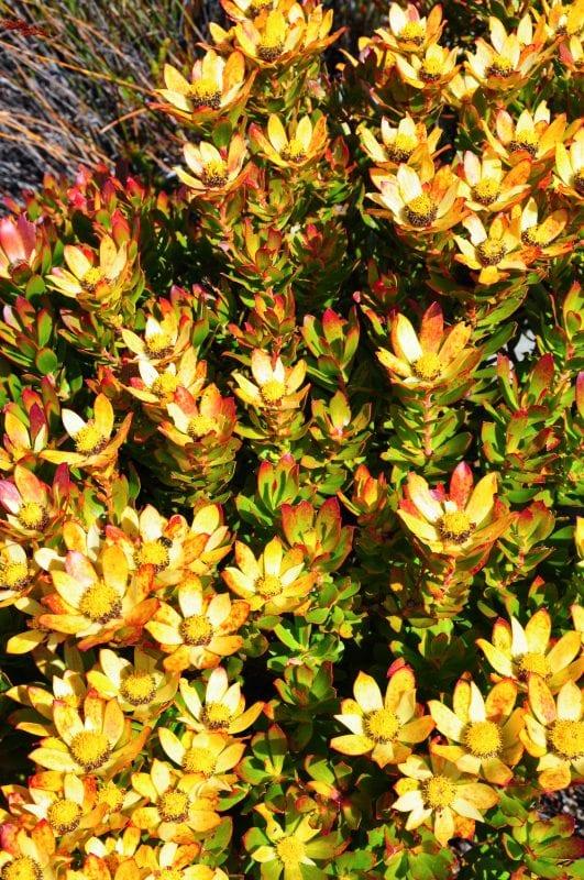 Flora de la Table Mountain