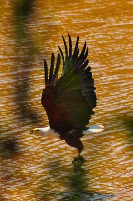Águila pescando un pez gato