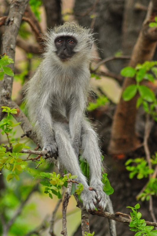 Verbet Monkey