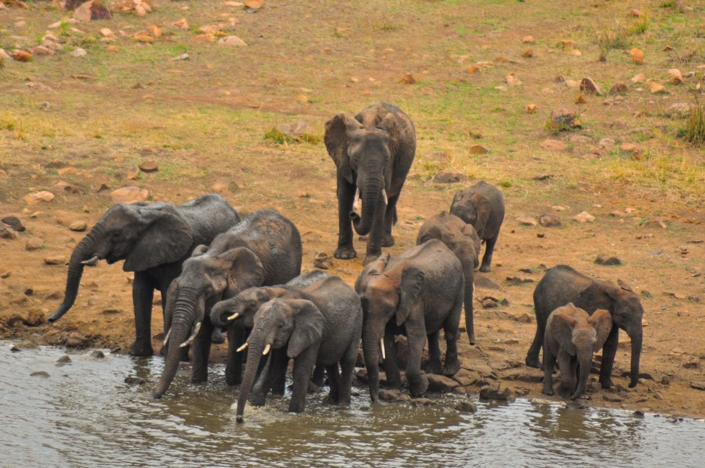 Familia de elefantes bebiendo