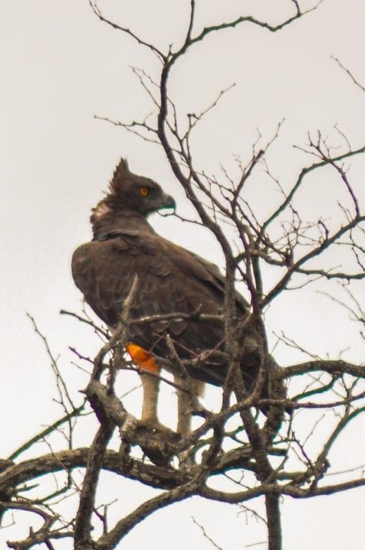 Águila Marcial en Kruger Park
